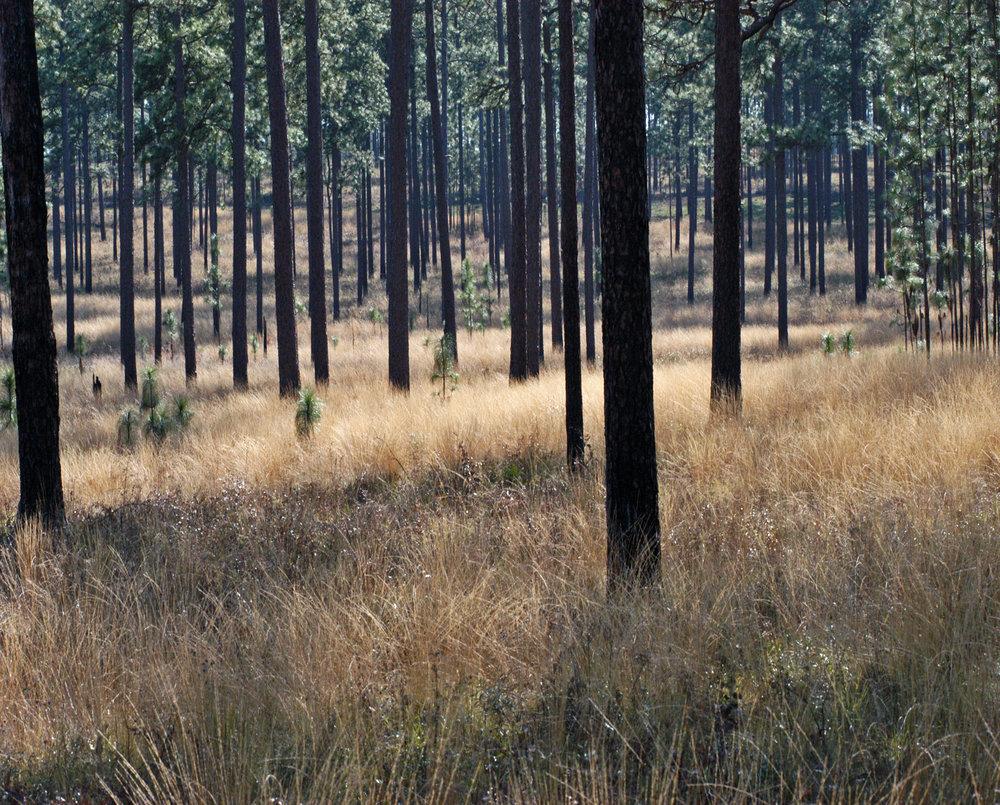 longleaf pine - wiregrass Wade.jpg