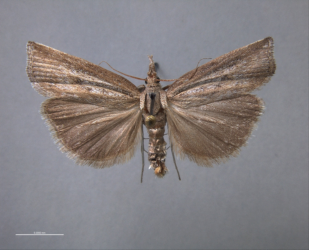 Neodactria-Male copy.jpg