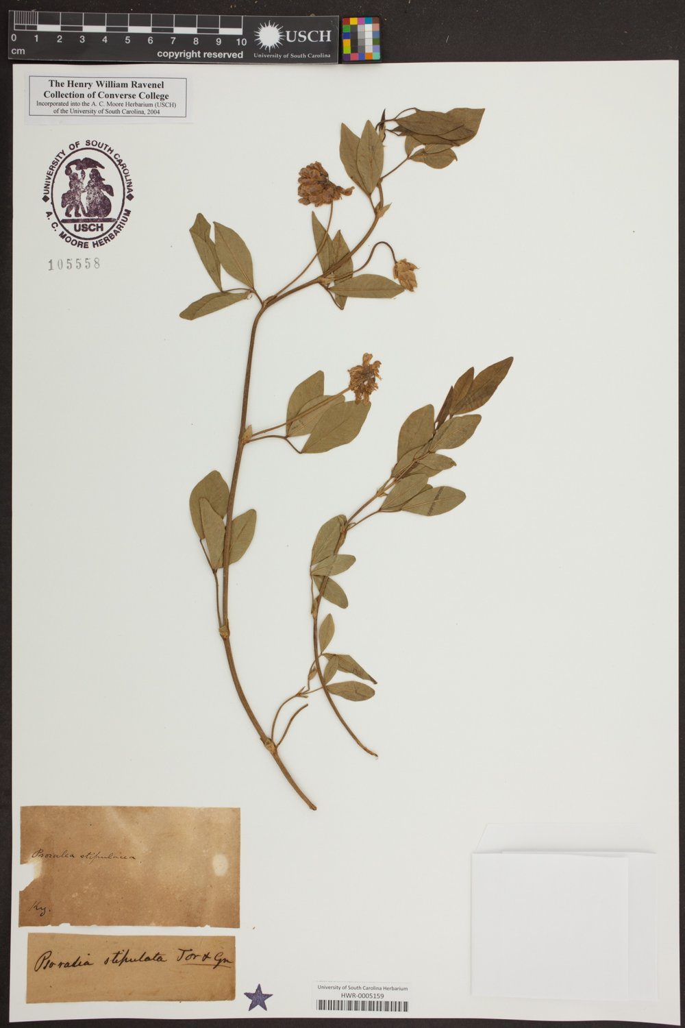 Specimen of Orbexilum stipulatum  in the Ravenel Collection, University of South Carolina Herbarium. Credit: University of South Carolina Herbarium.
