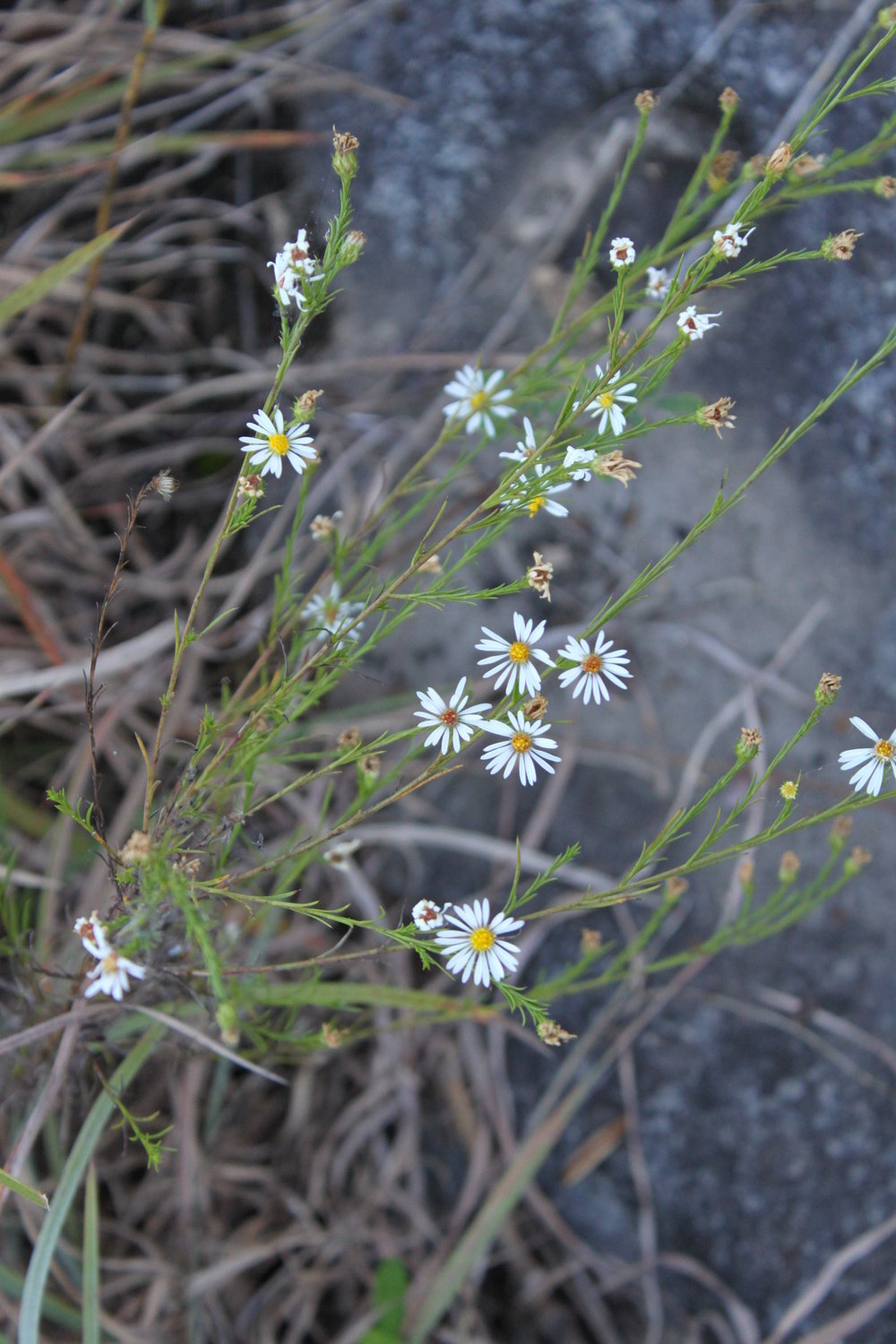 Pringle's Aster (Symphyotrichum pilosum var. pringlei is known only from this single site in Tennessee. Credit: Dwayne Estes.