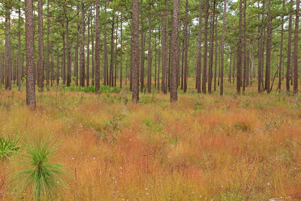 East Gulf Coastal Plain Longleaf Pine (Pinus palustris) Savanna, St. Marks National Wildlife Refuge, Wakulla Co., Florida
