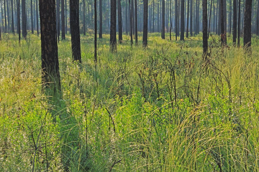 East Gulf Coastal Plain Longleaf Pine (Pinus palustris) Savanna, Mayhaw Wildlife Management Area, Miller Co., Georgia