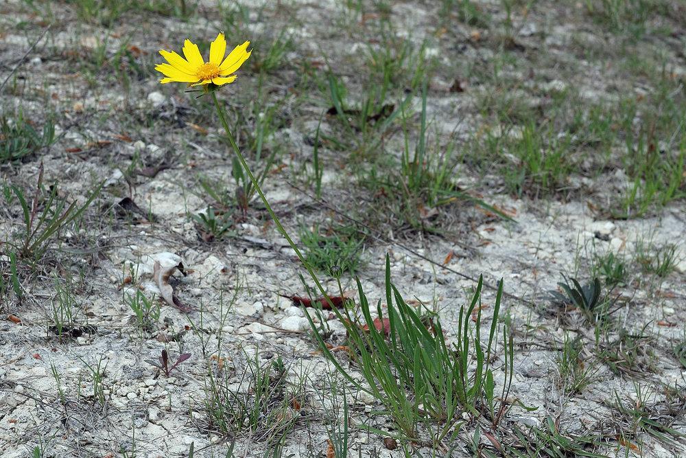 Newly described Coreopsis bakeri (Baker's Coreopsis), East Gulf Coastal Plain Limestone Barren, Jackson County, Florida