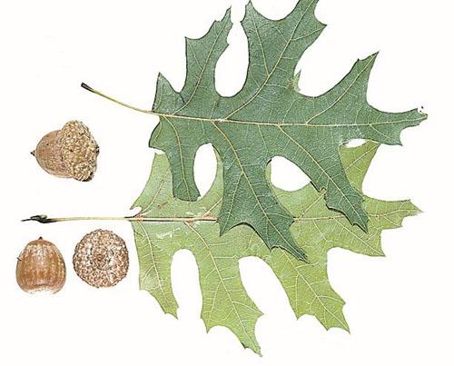Quercus shumardii (Shumard Oak)
