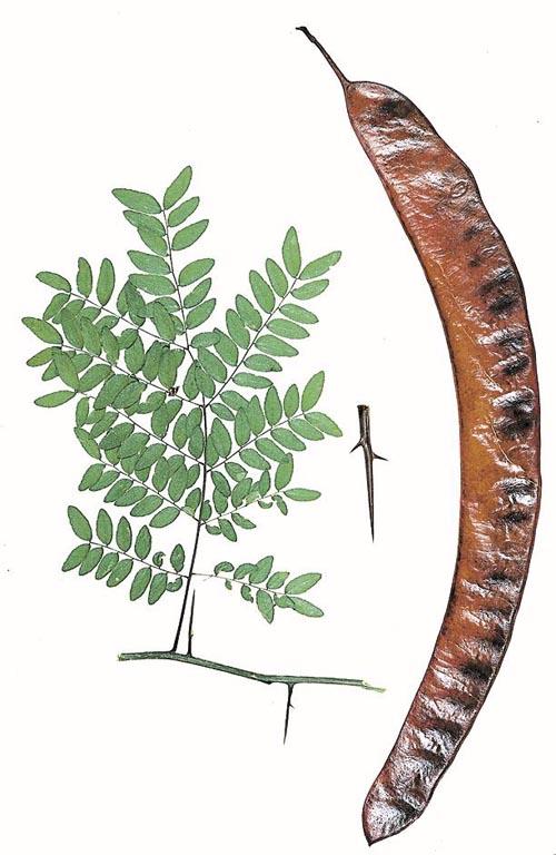 Gleditsia triacanthos (Honeylocust)