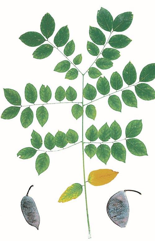 Gymnocladus dioicus (Kentucky Coffeetree)