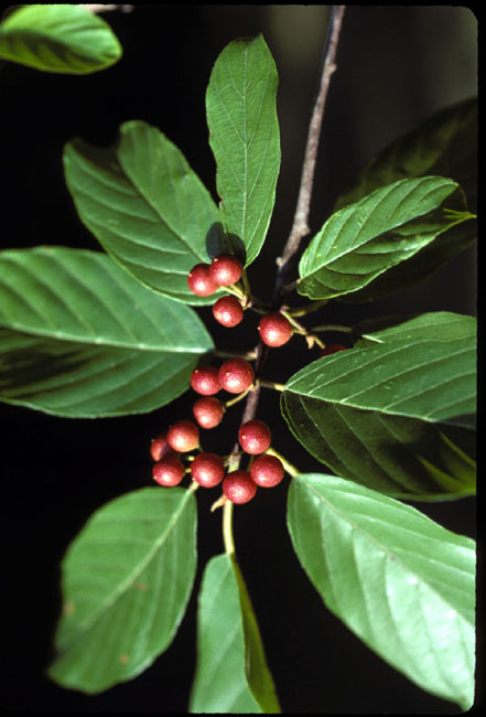 Rhamnus caroliniana (Carolina Buckthorn)
