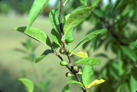 Sideroxylon lycioides (Southern Buckthorn)