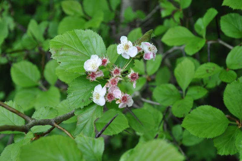 Crataegus harbisonii (Harbison's Hawthorn)