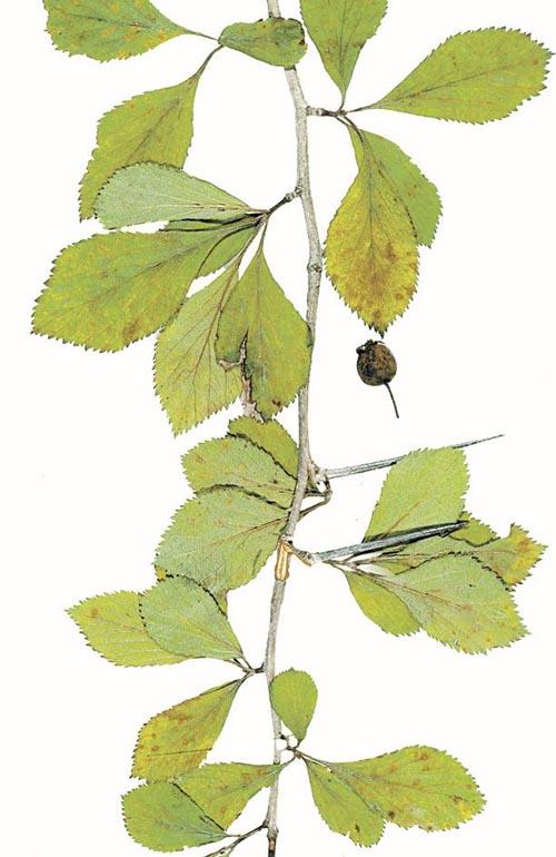 Crataegus collina (Hill Hawthorn)