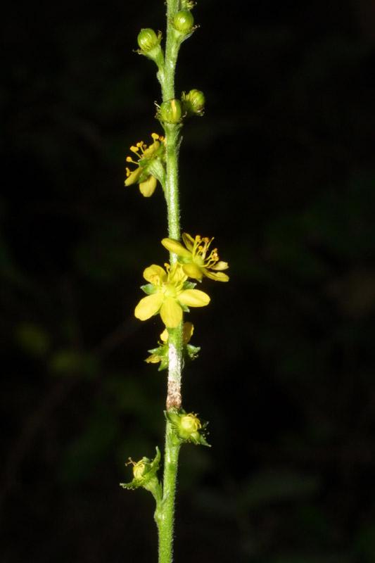 Agrimonia pubescens (Soft Agrimony)