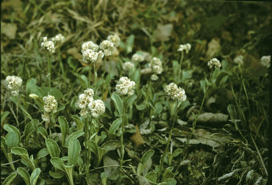 Antennaria plantaginifolia (Plantain-leaved Pussytoes)