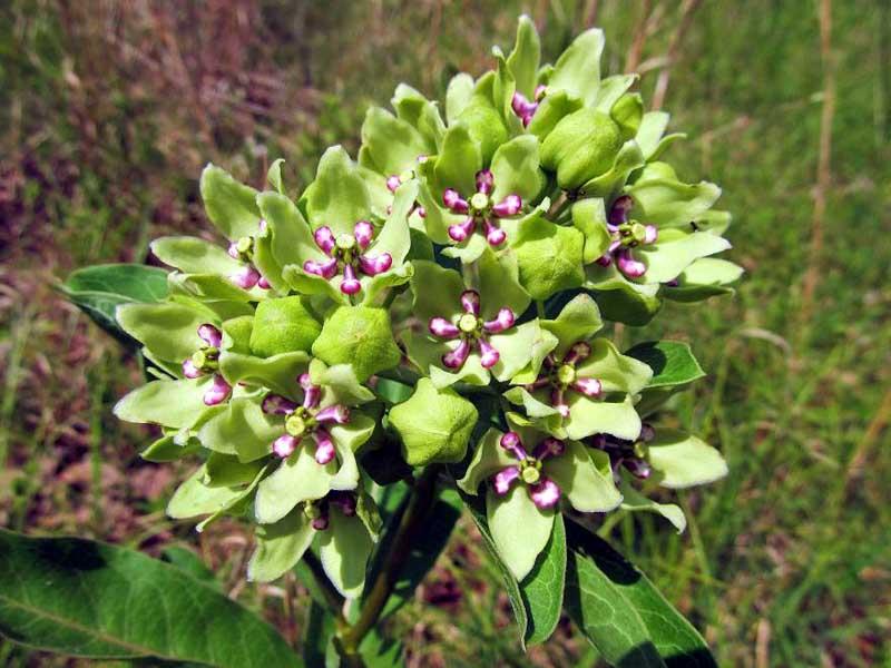 Asclepias viridis (Antelope-Horn Milkweed)