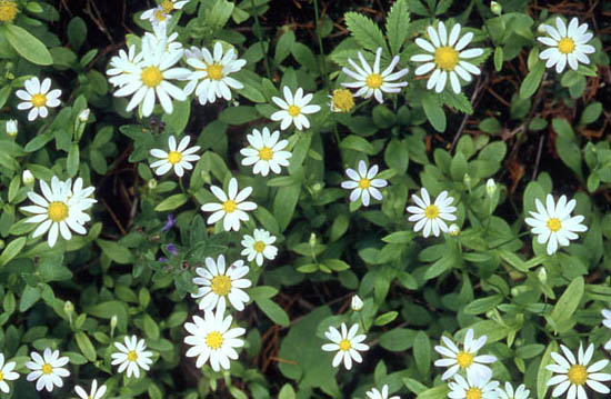 Astranthium integrifolium (Entireleaf Western Daisy)