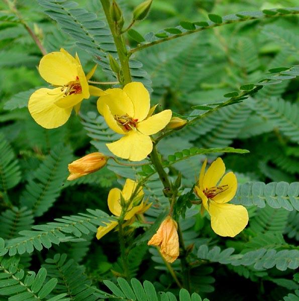 Chamaecrista fasciculata (Partridge Pea)