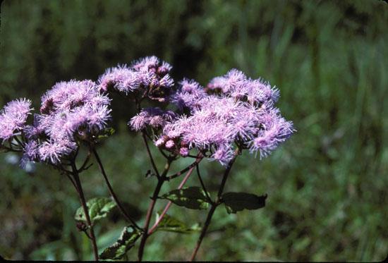 Conoclinium coelestinum (Blue Mistflower)