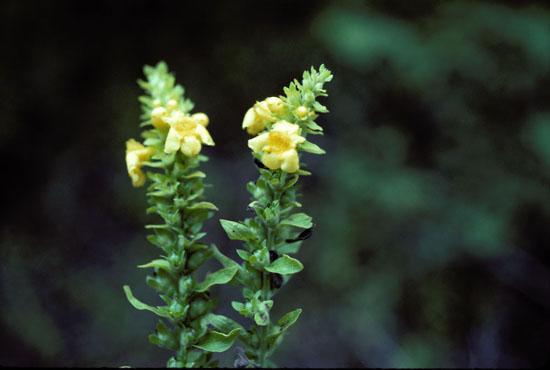 Dasistoma macrophylla (Mullein Foxglove)