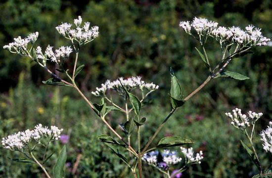 Eupatorium serotinum (Late-flowering Thoroughwort)