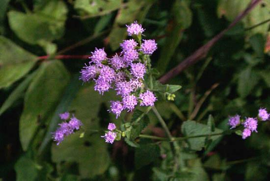 Fleischmannia incarnata (Pink Thoroughwort)