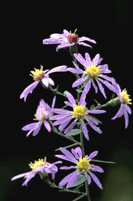Symphyotrichum shortii (Short's Aster)