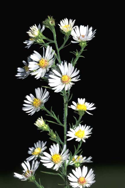 Symphyotrichum pilosum var. pilosum (Hairy White Oldfield Aster)