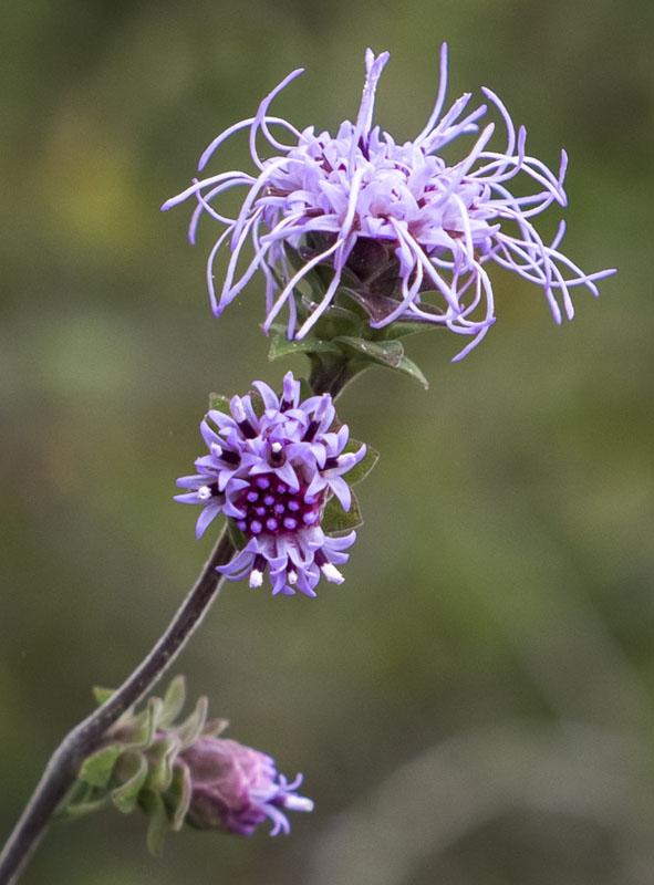 Liatris squarrosa (Scaly Blazingstar)