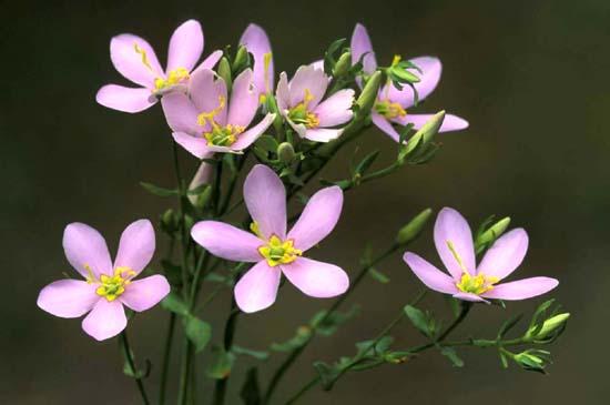 Sabatia angularis (Rose Pink)