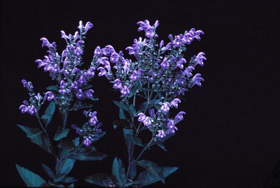 Scutellaria incana var. incana (Hoary Skullcap)