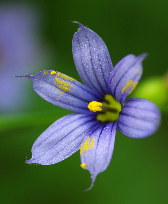Sisyrinchium angustifolium (Narrow-Leaved Blue-Eyed Grass)