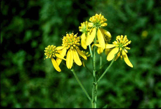 Verbesina alternifolia (Wingstem)