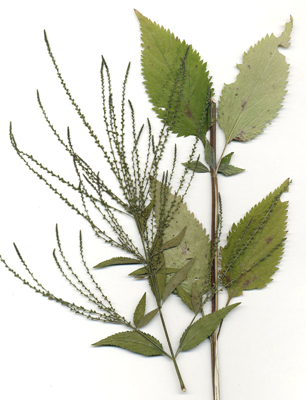 Verbena urticifolia (Nettle-leaf Vervain)