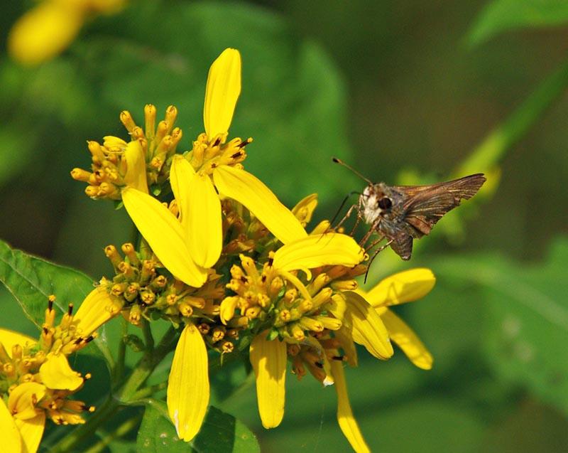 Verbesina occidentalis (Yellow Crownbeard)