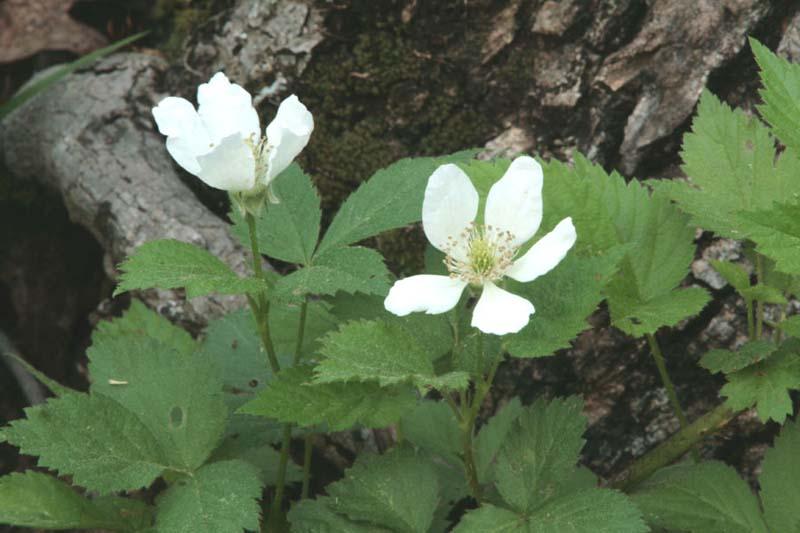 Rubus flagellaris (Northern Dewberry)