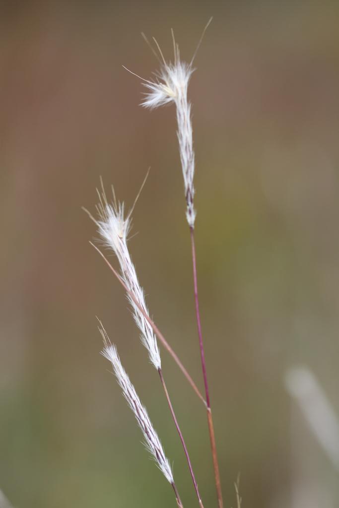 Andropogon ternarius (Splitbeard Bluestem)