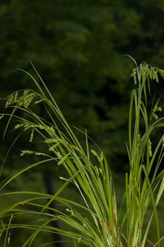 Carex davisii (Davis' Sedge)