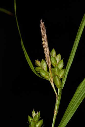 Carex grisea (Inflated Narrow-Leaf Sedge)