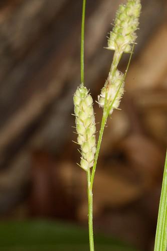 Carex swanii (Swan's Sedge)