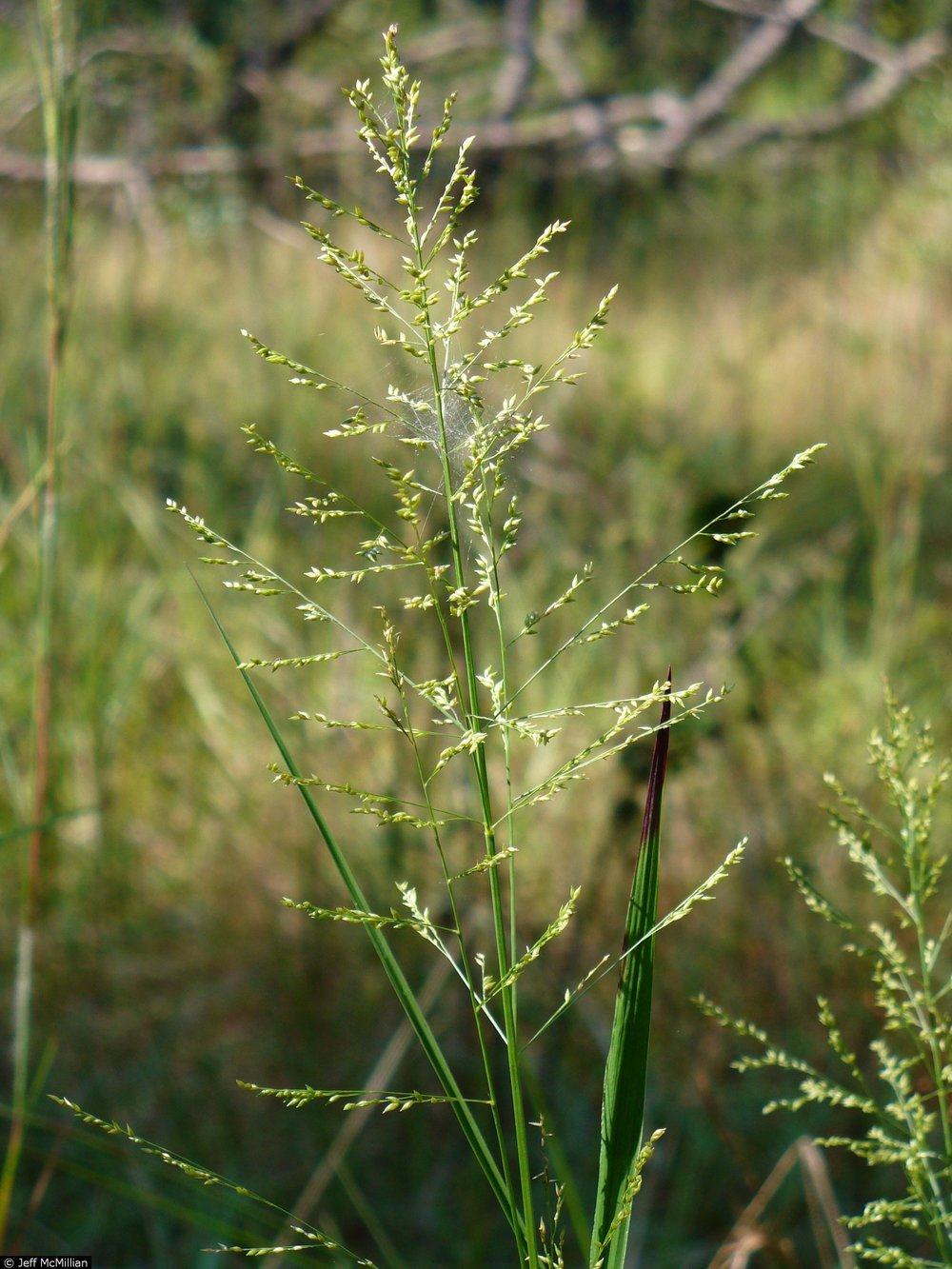 Panicum anceps (Fall Panic Grass)
