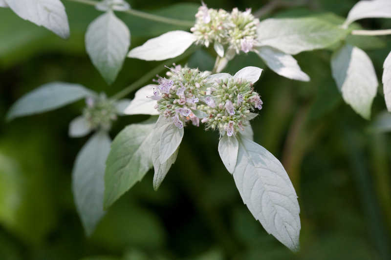 Pycnanthemum loomisii (Loomis' Mountain-Mint)