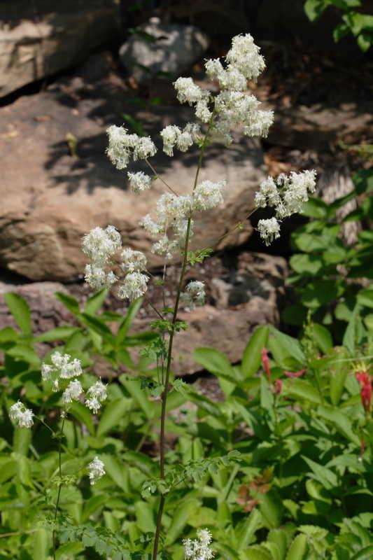 Thalictrum revolutum (Waxy-Leaf Meadow-Rue)