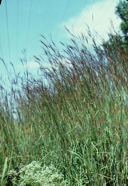 Andropogon gerardii (Big Bluestem)