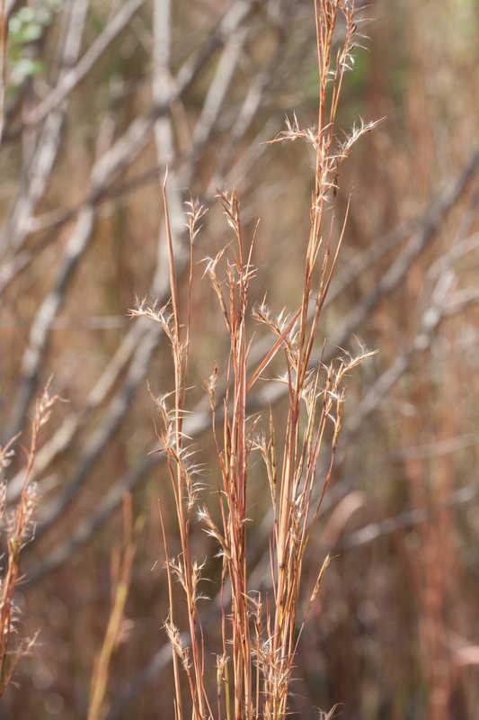 Schizachyrium scoparium (Little Bluestem)