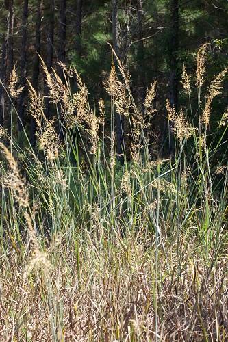 Sorghastrum nutans (Indian Grass)