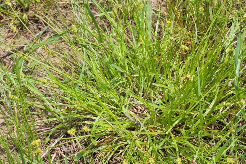 Carex leavenworthii (Leavenworth's Sedge)