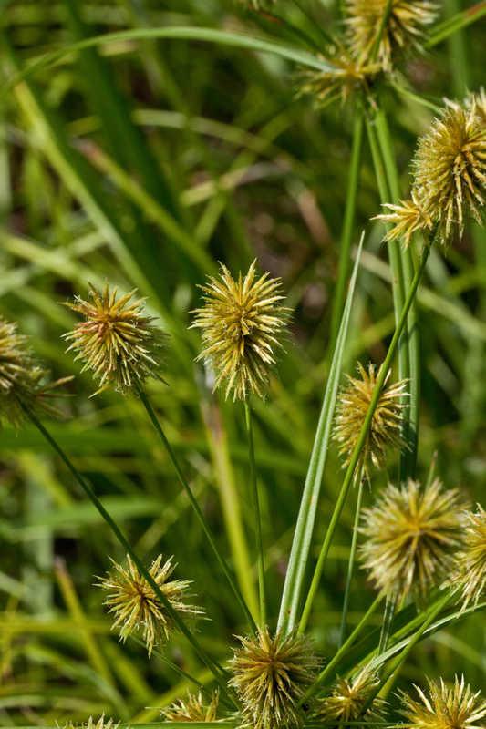 Cyperus lancastriensis (Manyflower Flatsedge)