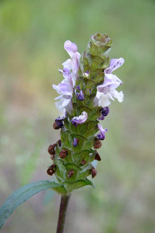 Prunella vulgaris var. lanceolata (Self-heal)