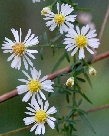 Bushy Aster ( Symphyotrichum dumosum ) is a common species of the Cumberland Plateau savannas.