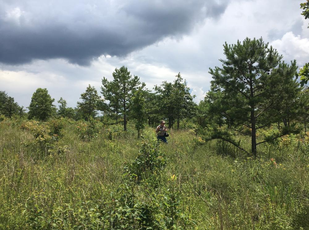 of Shortleaf Pine and savanna shrubs...