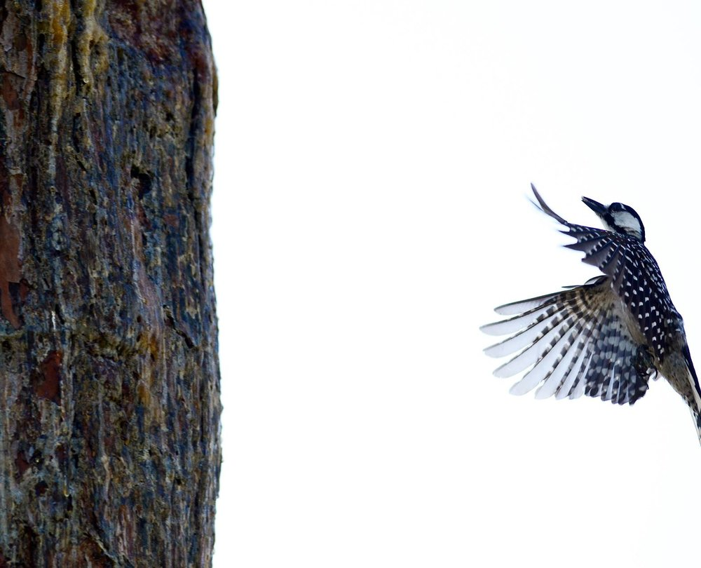 Red-Cockaded Woodpecker  is a species that was last seen in Tennessee in 1990. The second-to-last population was at Catoosa WMA in Cumberland Co., TN. As the savannas succeeded to closed-canopy forests, this species lost the open conditions it requires and finally disappeared completely in the late 1980s. The last birds in Kentucky were moved to longleaf pine savannas of Georgia to avoid their loss. Numerous initiatives are now focused on attempting to reintroduce this beautiful woodpecker back to its native range, but thus far no efforts have been made to bring it back to Tennessee. Initiatives like that at Coal Creek Farm can help rescue this and other imperiled grassland species.