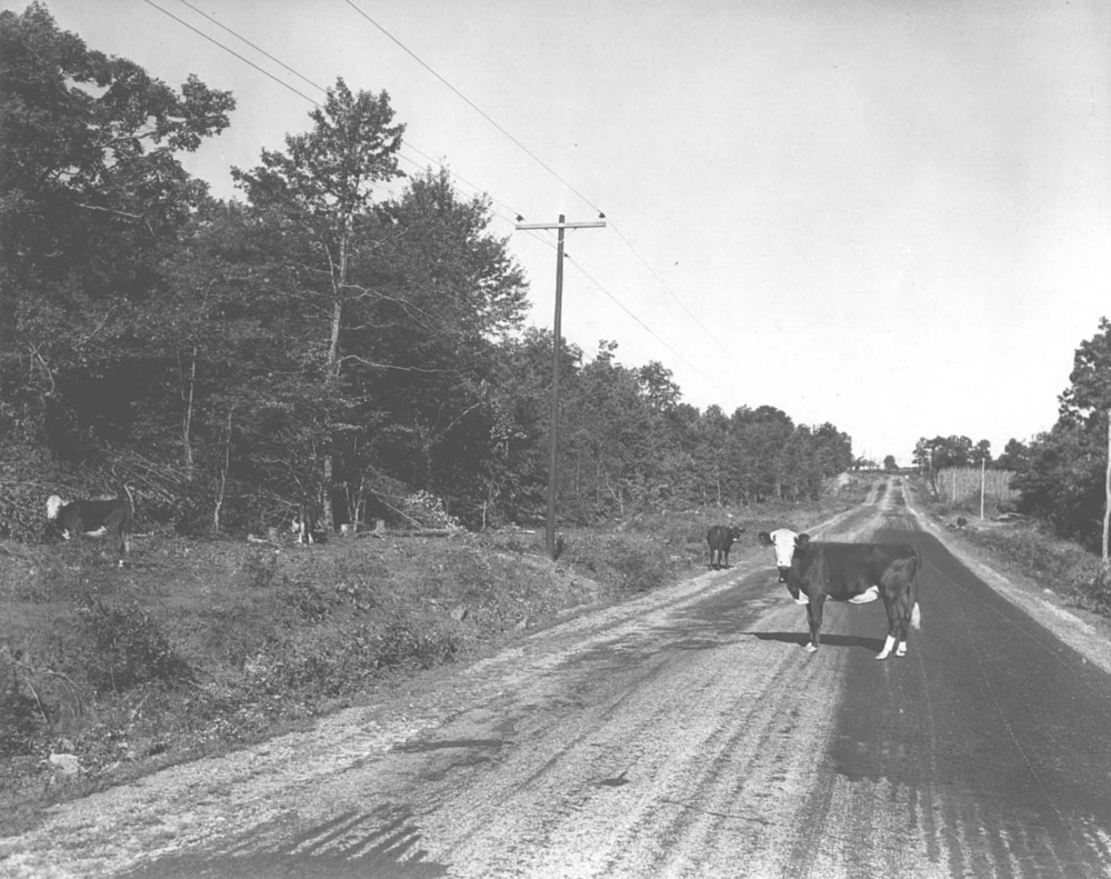 """The days of """"open range"""" for cattle, Cumberland Co., Tennessee. 1940."""